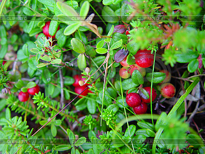 Red berry   High resolution stock photo  ID 3054637