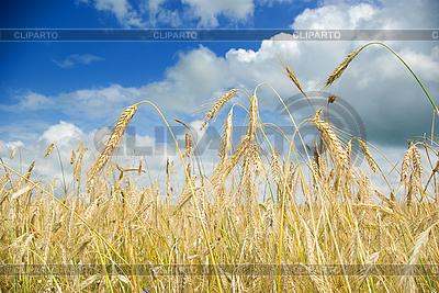 Weizenfeld | Foto mit hoher Auflösung |ID 3072547