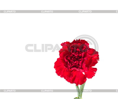Bud of flower of carnation | High resolution stock photo |ID 3229828