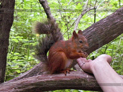 Squirrel on the branch eating from female hand   High resolution stock photo  ID 3062815