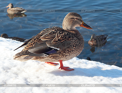 Wild duck on the snow | High resolution stock photo |ID 3068357