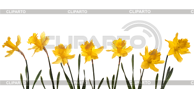 Spring narcissus | High resolution stock photo |ID 3324388