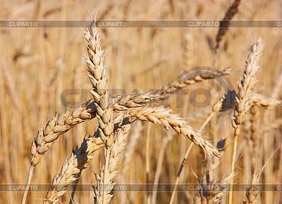 Felder von Weizen | Foto mit hoher Auflösung |ID 3068724
