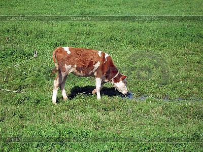 Wypas łydki w zielonym polu | Foto stockowe wysokiej rozdzielczości |ID 3102487