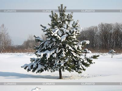 性质。杉木树雪 | 高分辨率照片 |ID 3102494