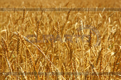 Yellow grain ready for harvest growing in farm field | High resolution stock photo |ID 3102946