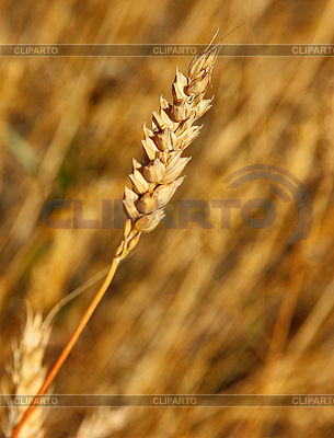 Yellow grain ready for harvest growing in farm field | High resolution stock photo |ID 3102947