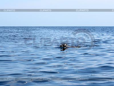 Пятнистый тюлень (Phoca ларга) в чистой воде | Фото большого размера |ID 3352308