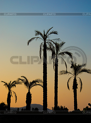 Силуэты пальм в сумерках | Фото большого размера |ID 3095486