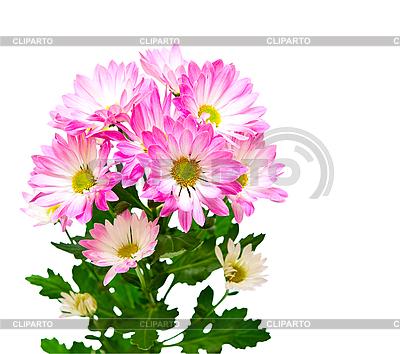 Dahlia kwiaty | Foto stockowe wysokiej rozdzielczości |ID 3187476