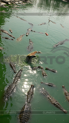 Krokodile | Foto mit hoher Auflösung |ID 3350144