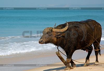 Indian Buffalo on the Beach | 높은 해상도 사진 |ID 3106312