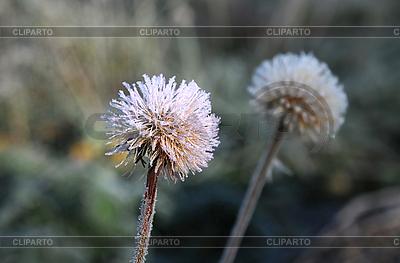 Frozen Dandelion   High resolution stock photo  ID 3107610