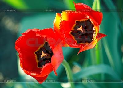 Dwa jasne czerwone tulipany | Foto stockowe wysokiej rozdzielczości |ID 3088664