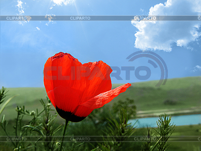 Red poppy | High resolution stock photo |ID 3094543