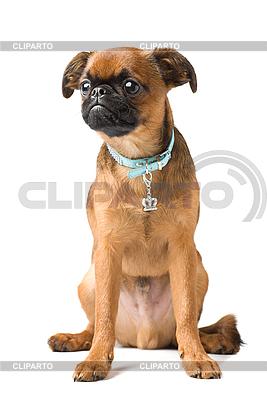 Petit Brabançon puppy | High resolution stock photo |ID 3091146