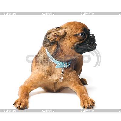 Petit Brabançon puppy | High resolution stock photo |ID 3091147