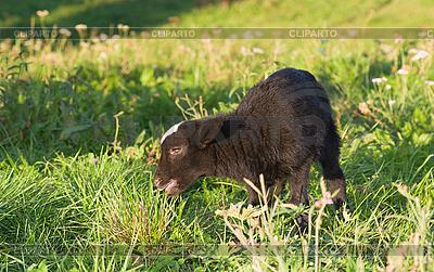 Cordero en el prado verde | Foto de alta resolución |ID 3092975