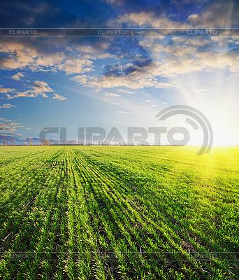 Cebada verde en la puesta del sol | Foto de alta resolución |ID 3091249