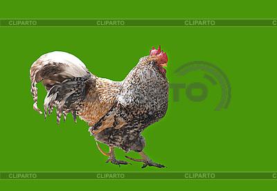 公鸡 | 高分辨率照片 |ID 3123560