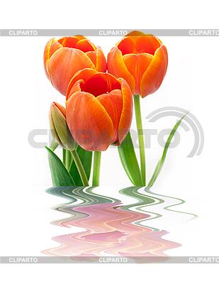 Tulips | High resolution stock photo |ID 3166034