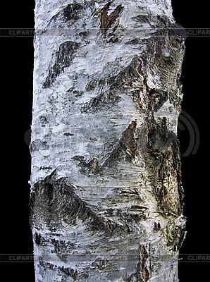 Birch Tree Bark | High resolution stock photo |ID 3098640