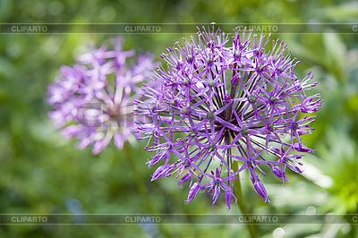 Blühende wilde Zwiebel | Foto mit hoher Auflösung |ID 3098658