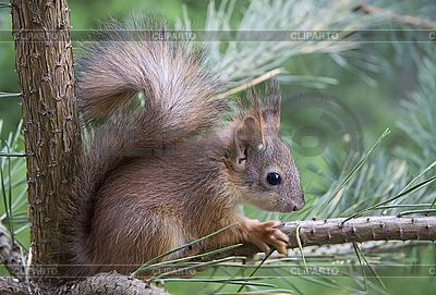 Young squirrel   Foto stockowe wysokiej rozdzielczości  ID 3098663