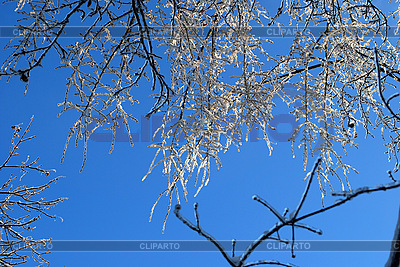 Tree branches in ice | High resolution stock photo |ID 3109293