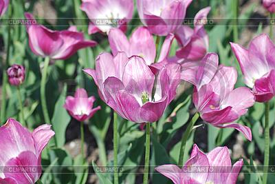 Tulips   High resolution stock photo  ID 3115561
