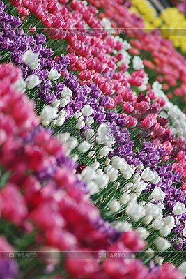 Tulips | High resolution stock photo |ID 3115578