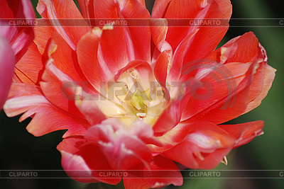 Red tulip | High resolution stock photo |ID 3115582
