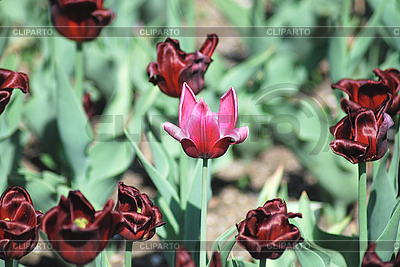 Pink and red tulips | High resolution stock photo |ID 3205435