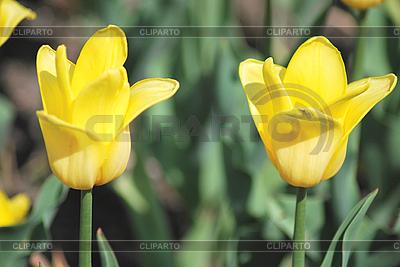 두 개의 노란색 튤립 | 높은 해상도 사진 |ID 3205437