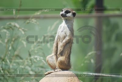 Meerkat (Suricata suricatta) portrait, desert wildlife | High resolution stock photo |ID 3305737