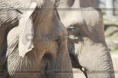 动物家族对夫妇在爱的亚洲象,   高分辨率照片  ID 3310448