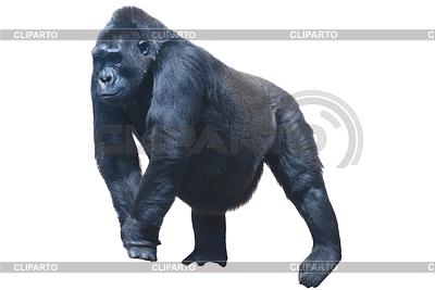 Großer schwarzer haariger Gorilla | Foto mit hoher Auflösung |ID 3329818