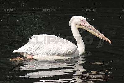 White pelican, pelecanus occidentalis   High resolution stock photo  ID 3330597