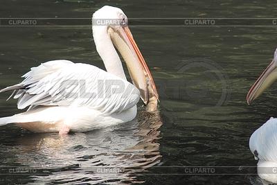 White pelican with fish in his beak , pelecanus   High resolution stock photo  ID 3330598