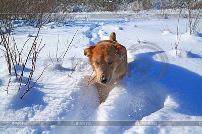 Rudy pies w głębokim śniegu | Foto stockowe wysokiej rozdzielczości |ID 3245279