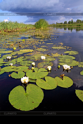 Water lilies on small lake | High resolution stock photo |ID 3245323