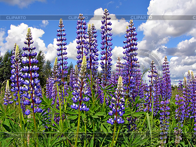 Flowerses lupines on field | High resolution stock photo |ID 3263638