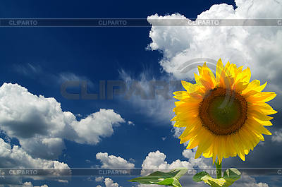 Sunflower in sky | High resolution stock photo |ID 3117675