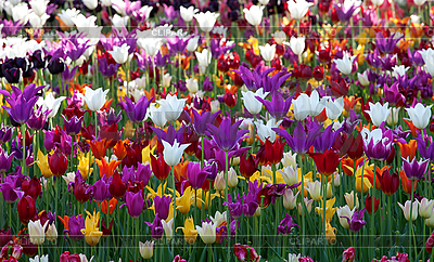 Multicolor tulips | High resolution stock photo |ID 3117824