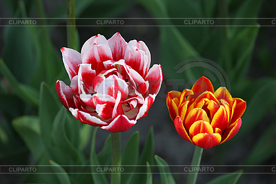 Two tulips | High resolution stock photo |ID 3117829