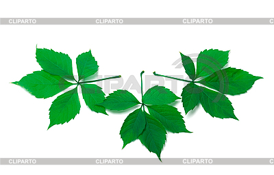 Three green virginia creeper leaves | High resolution stock photo |ID 3150195