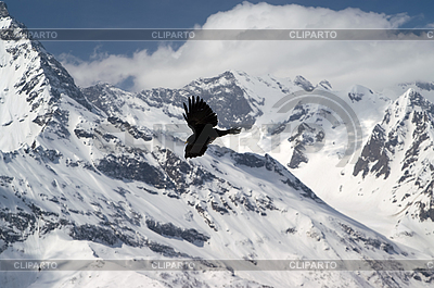 Alpine Chough (Pyrrhocorax graculus) | High resolution stock photo |ID 3178669
