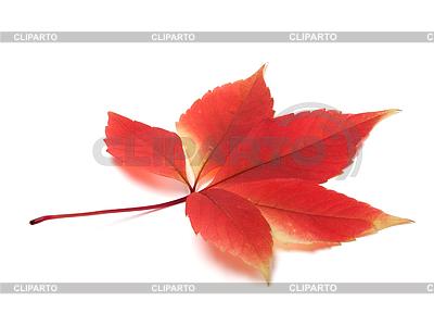 Autumn virginia creeper leaves   High resolution stock photo  ID 3223138
