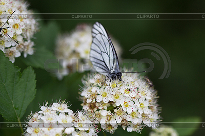 White butterfly on white flower   High resolution stock photo  ID 3280567