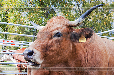 Kuh | Foto mit hoher Auflösung |ID 3133690